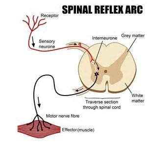 what is a simple spinal reflex? quora