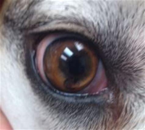 golden retriever cysts golden retriever dr nelson s veterinary