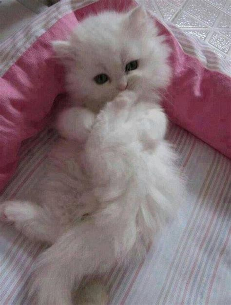 tiny puffy for pinterest types of fluffy kittens www imgkid com the image kid