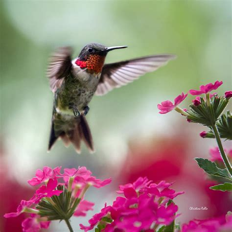 Ruby Garden by Ruby Garden Hummingbird Square Photograph By