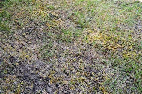 Nach Dem Vertikutieren by Rasen Vertikutieren Zeitpunkt Richtig W 228 Hlen