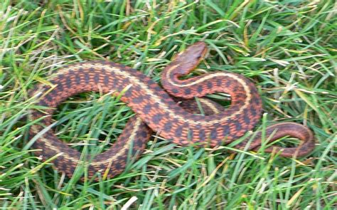 Garden Snake Diet Abcs Of Animal World Small Snakes For Pet And