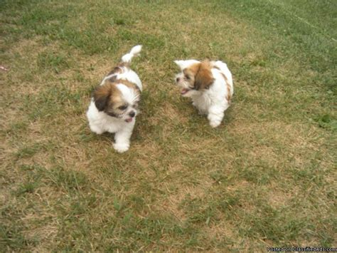 shih tzu maltese mix price maltese shih tzu mix puppies price 350 in indianapolis indiana cannonads