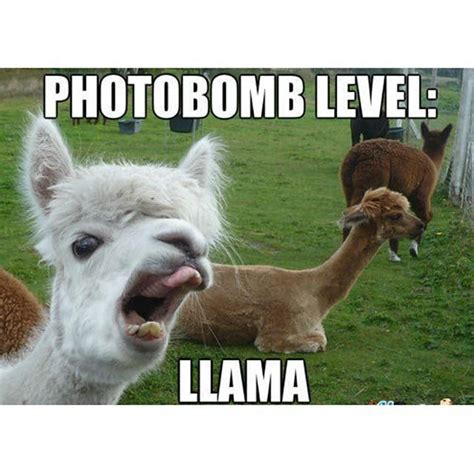 Funny Llama Memes - 17 best ideas about funny llama on pinterest llamas i