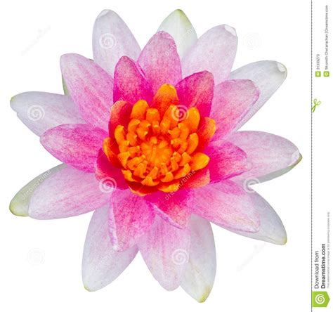 water flower bloom water sparkle lotus flower water water or lotus flower stock photos image 31339273