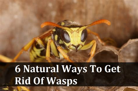 how to get rid of wasps in house siding 6 natural ways to get rid of wasps