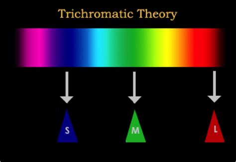trichromatic theory of color vision neuroscience 3361 gt miller gt flashcards gt powerpoint 10