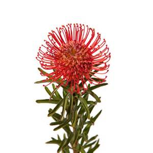 Pin Cushion Protea Pincushion Protea Protea Types Of Flowers Flower