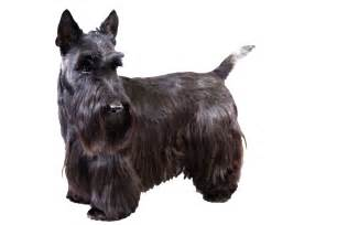 hair cuts for a scottish terrier search results for scottish terrier haircut photos