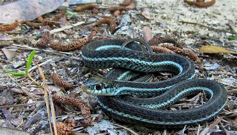 Garden Snake South Florida Bluestriped Garter Snake Florida Flickr Photo