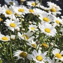 fleurs vivaces d 233 t 233 liste ooreka