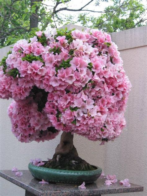 Bonsai Pink pink blossom bonsai tree trees shrubs cactus bonsai pink blossom and bonsai trees