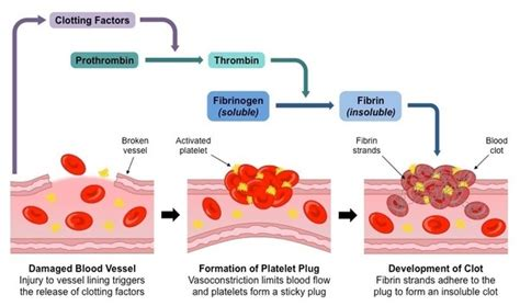 blood clotting cascade diagram what is the mechanism of blood clotting quora