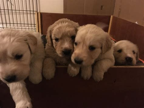 golden retriever litter litter of golden retriever cross puppies bristol bristol pets4homes