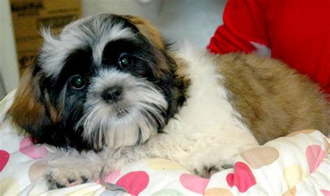 shih tzu information and facts shih tzu puppies information shih tzu puppies pictures information breeds picture