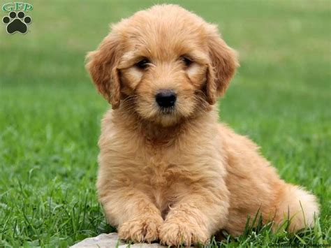 goldendoodle puppy for sale 17 best images about goldendoodle on children