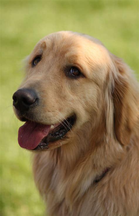 golden retriever eyebrows 10 images about golden retriver on pets charles and golden retriever