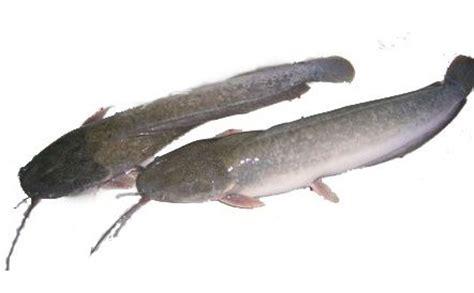 manfaat ikan lele  kesehatan manfaatcoid