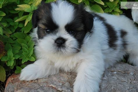 shih tzu for sale in mo missouri shih tzu puppies for sale breeds picture