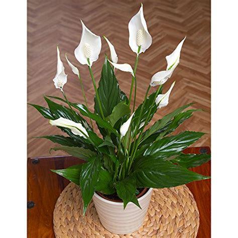 peace lily in bathroom best plants for the bathroom indoor gardener