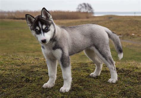 12 week puppy a puppy of siberian husky 12 weeks