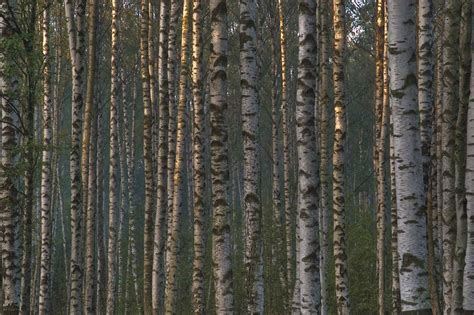 birch trees search in pictures