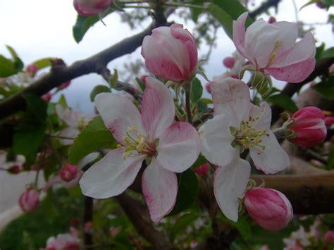 fiori di melo fiori di melo viaggi vacanze e turismo turisti per caso