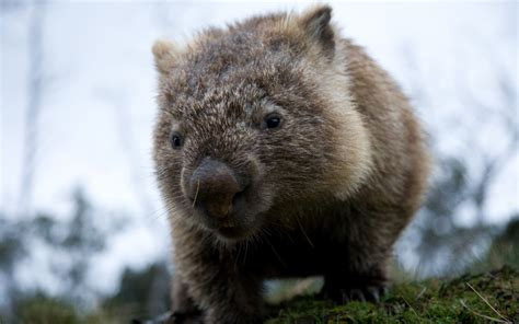 wombat wallpapers images funny animals
