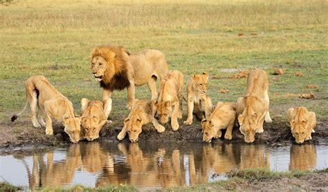 imagenes manada leones manada controlada animals pinterest im 225 genes