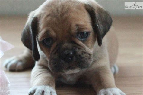 puggle puppies for sale in michigan puggle puppies for sale by a reputable puggle breeder breeds picture
