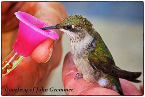 hummingbird rescue and care about first aid