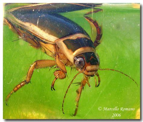 Leander Möbel by Dytiscidae Hydaticus Guignotites Leander Forum Natura