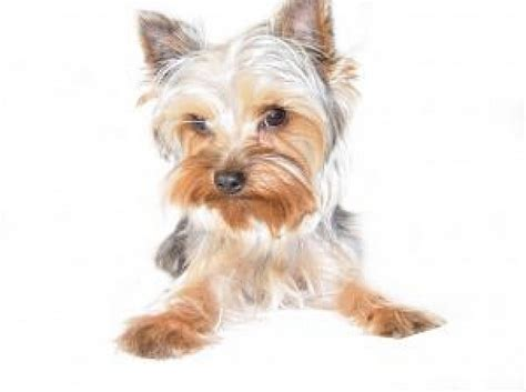 free yorkie puppy terrier photo free