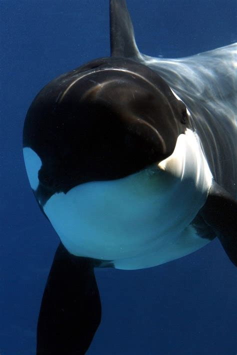 killer whale www imgkid the image kid has it