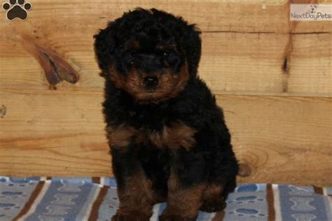 rottie poo puppies for sale harvey mixed other puppy for sale near lancaster pennsylvania babd3e9a 77e1