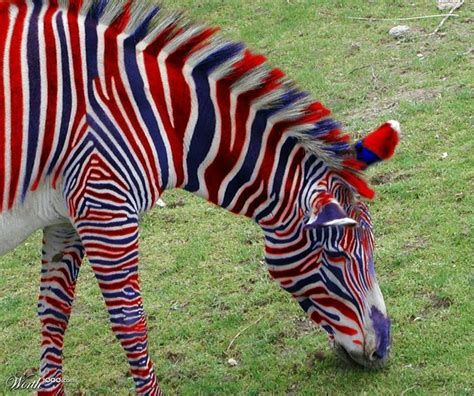 Suzi Irwin Also Search For Quot All American Zebra Quot By Wahoo 4th Place Entry In Quot Selections Quot Contest On