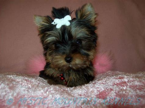 shih tzu puppies for sale in tn 26 best images about yorkie puppies terrier on tiny puppies