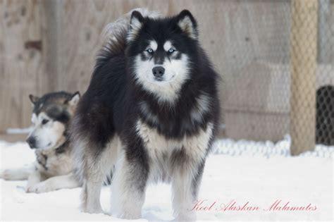 husky malamute mix puppy siberian husky sled dogs pics