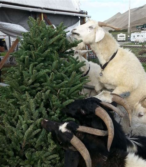 goats another option for recycling your christmas tree
