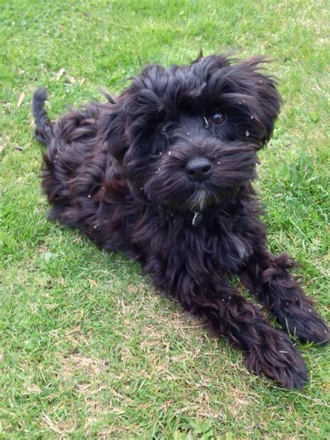 schnoodle puppies nc schnoodle dogs for adoption hairstylegalleries