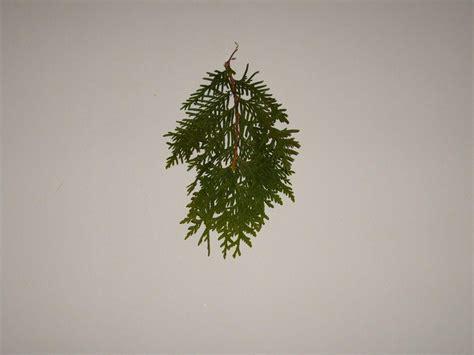 leaf pattern wiki file conifer leaf leaves branch jpg wikimedia commons