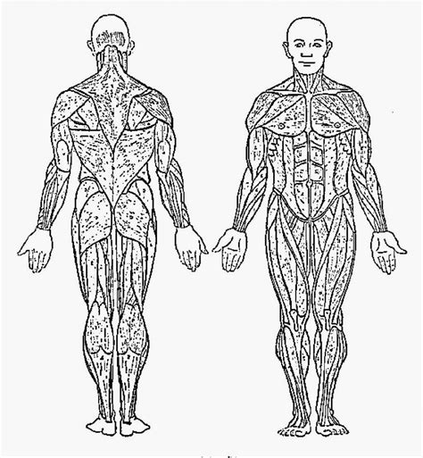 anatomy coloring book muscles free anatomy coloring pages bestofcoloring