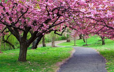 flowering japanese cherry blossom tree