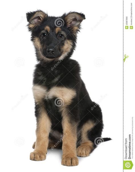 3 month german shepherd puppy german shepherd puppy 3 months sitting stock photo image 23087800