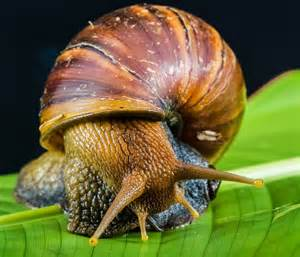 Snails Reproduce Moreover Aquatic Snails Freshwater.   Free Image Nail