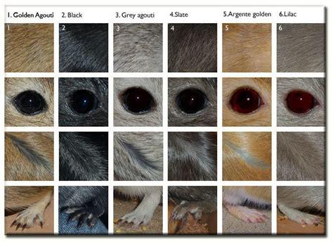 gerbil colors 78 best gerbils images on gerbil squirrels