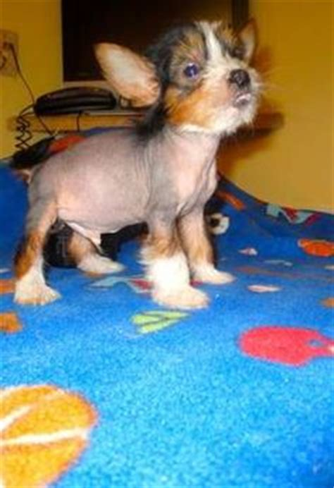 crested powder puff yorkie mix my pony dogs on 100 pins