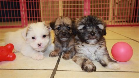yorkie ton puppies for sale charming white and yorkie ton puppies for sale in atlanta ga at