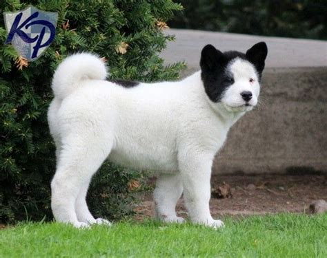 akita puppies for sale in ohio 1000 images about akitas the style i prefer on names akita and