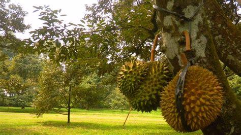 Bibit Buah Di Mekarsari harga tiket masuk taman buah mekarsari mei juni 2018